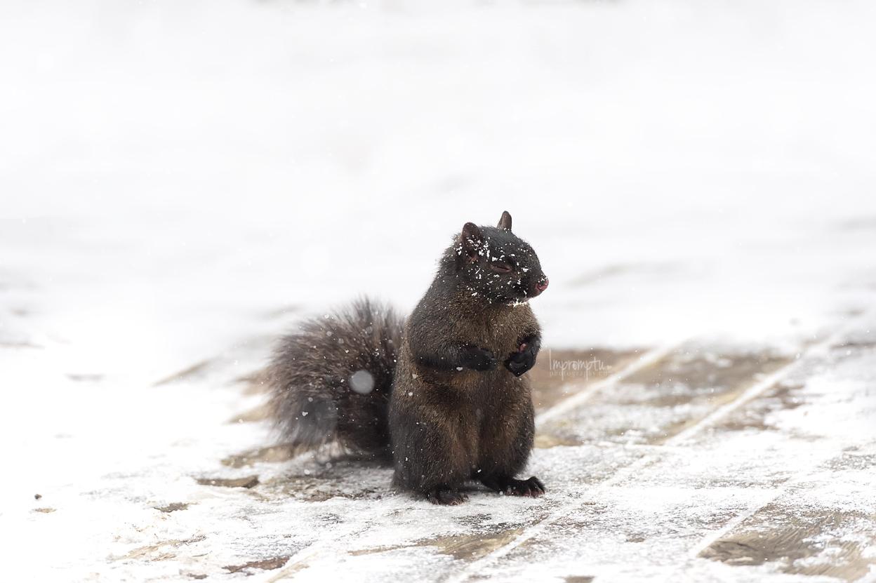 _83 Black Squirrel being camera shy 12 17 2017 .jpg