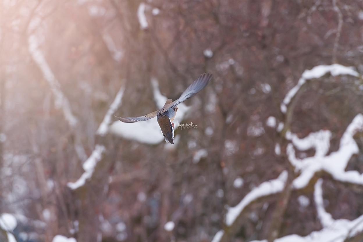 _135 2 12x8 Mourning Dove in flight in the Winter 12 17 2017 .jpg