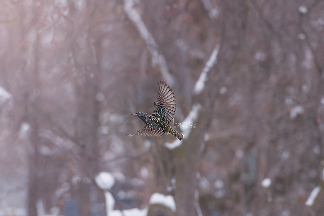 _139 12x8 European Starling in the winter morning 12 17 2017 .jpg