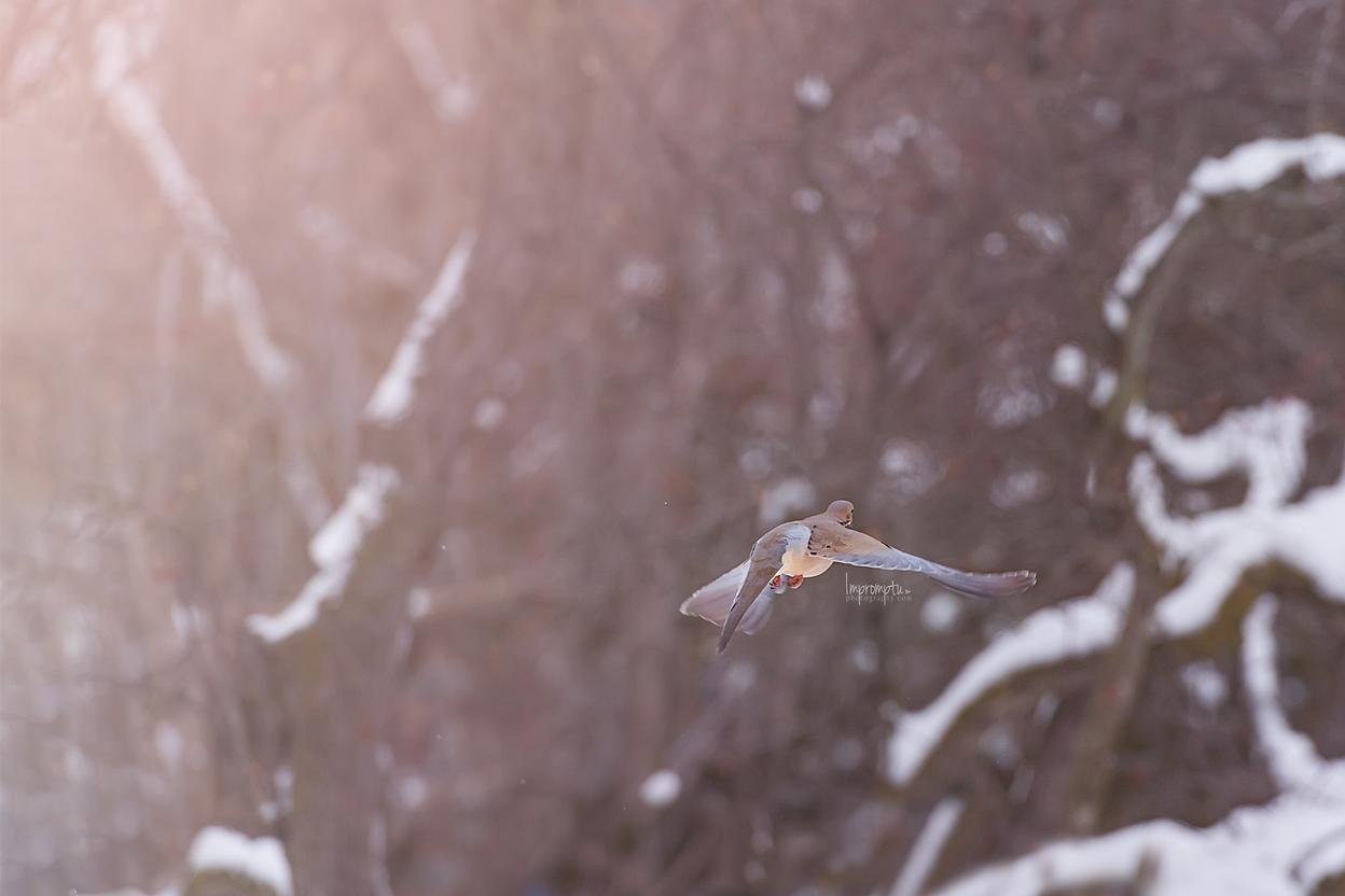 _256 12x8  Mourning Dove in flight in the winter snow 12 17 2017 .jpg