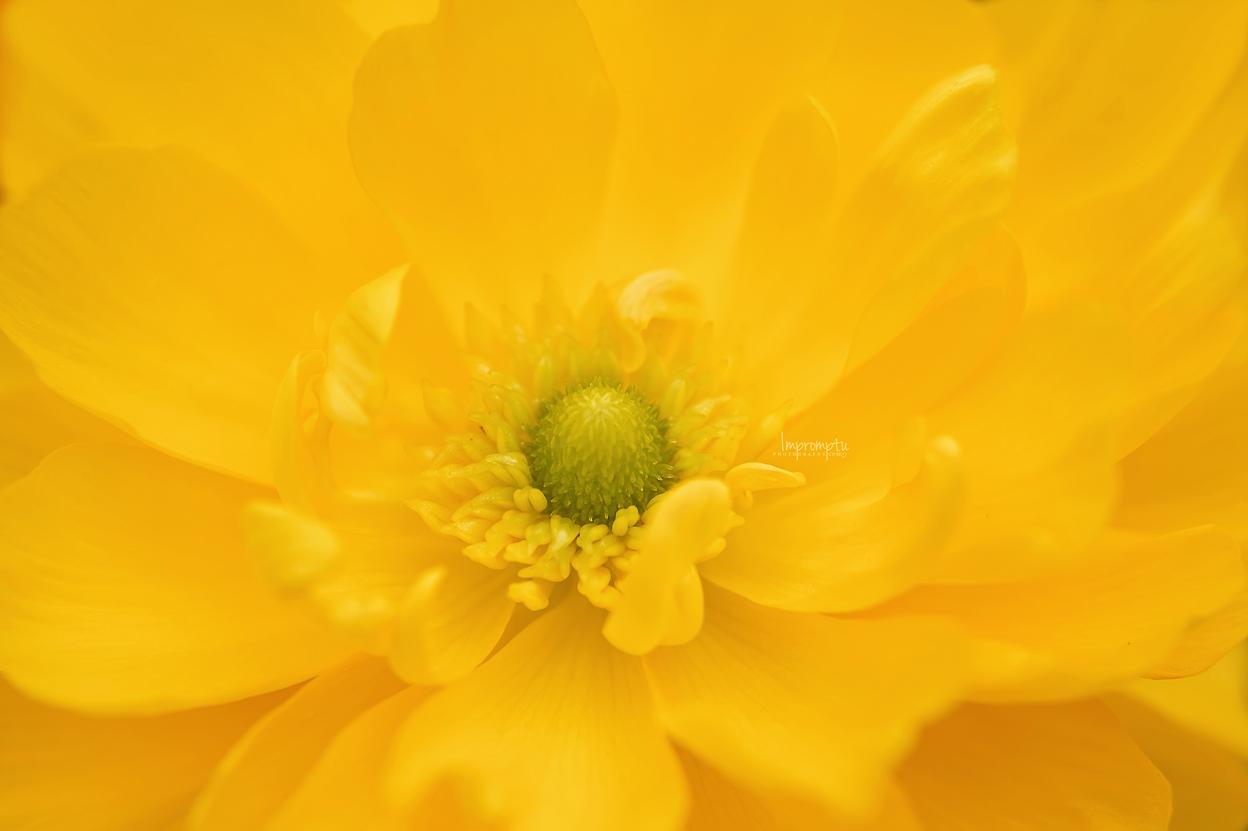 _217 2 Yellow Ranunculus N 07 02 2017  2.jpg