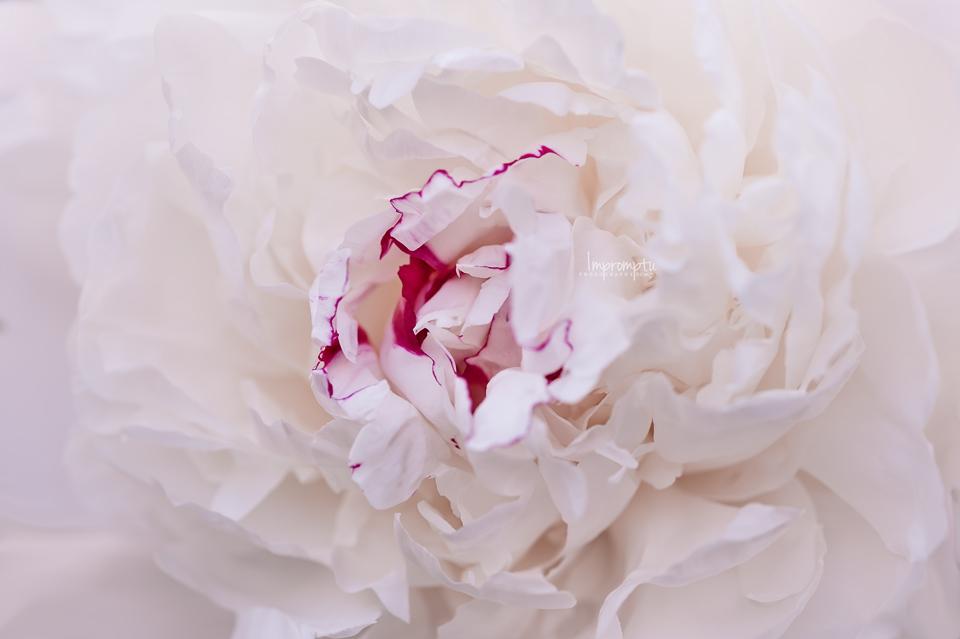 Festiva White Peony  _14506 03 2017.jpg