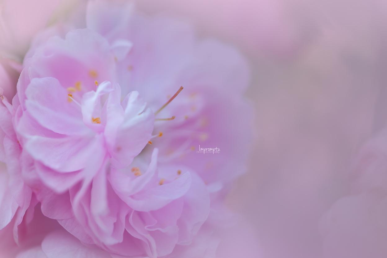 _89 05 09 2018  Pink single China Rose bloom.jpg