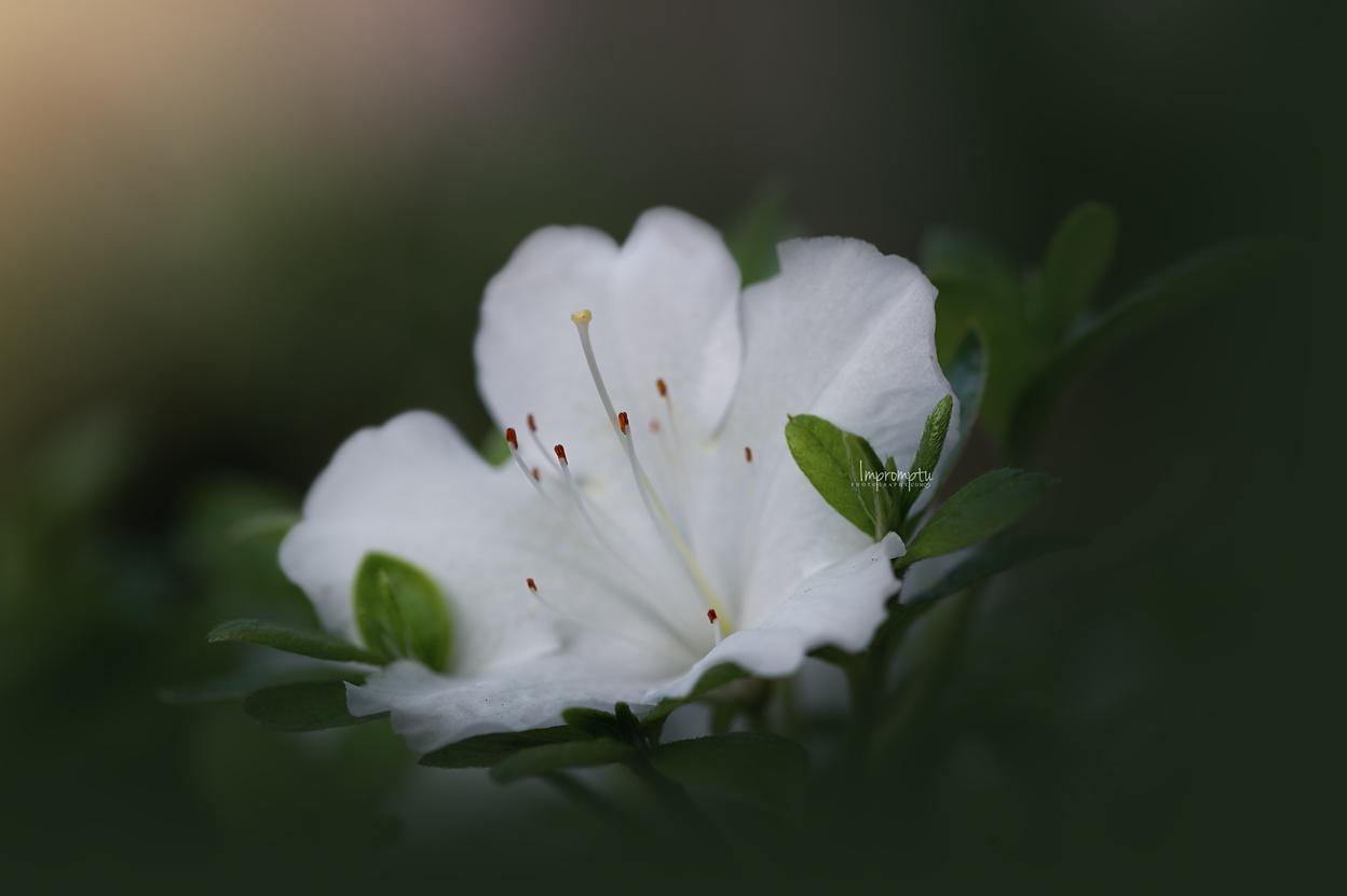 _111 2 05 24 2018  white azalea in the evening light.jpg
