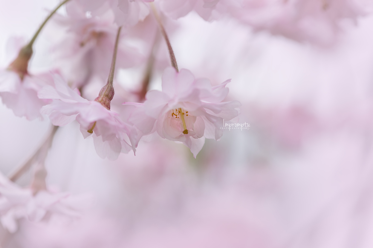 _116 05 06 2018  weeping cherry blossoms pink.jpg