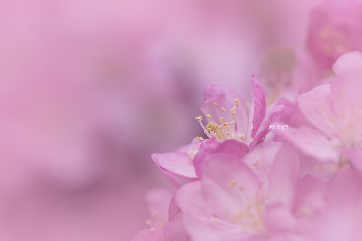 _117 05 18 2019  bright and bold detailed crab apple bloom.jpg
