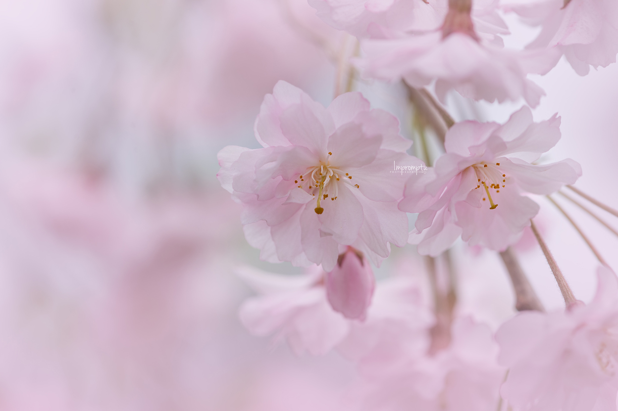 _143 05 06 2018  cluster of weeping cherry blossoms.jpg
