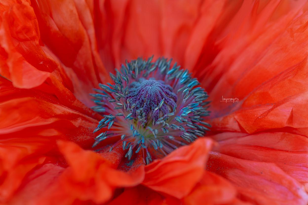 _157 05 24 2018  Orange wild poppy details.jpg