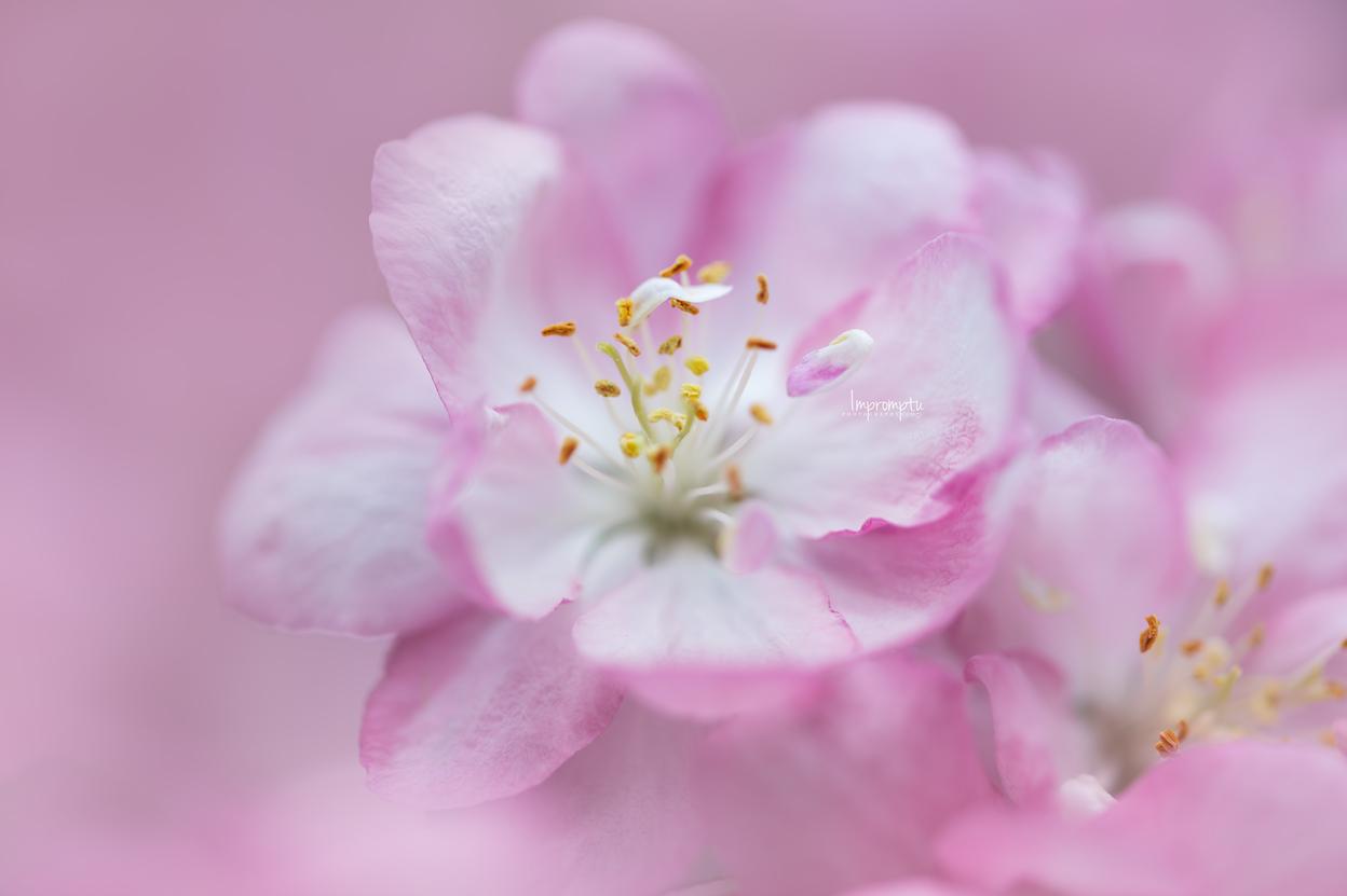 _169 05 15 2018  Pink Crabapple bloom in the spring details.jpg
