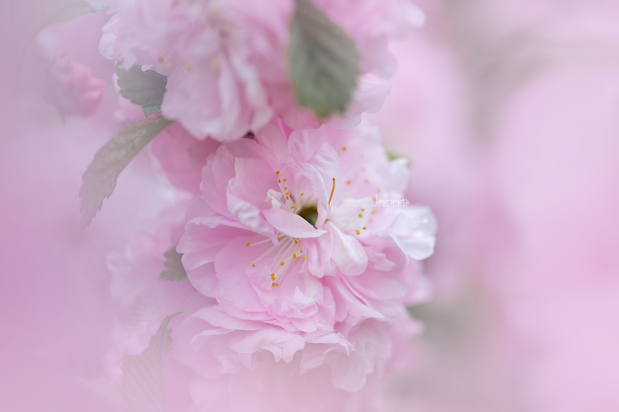 _193 05 09 2018  small cluster of pink China Rose Blooms.jpg