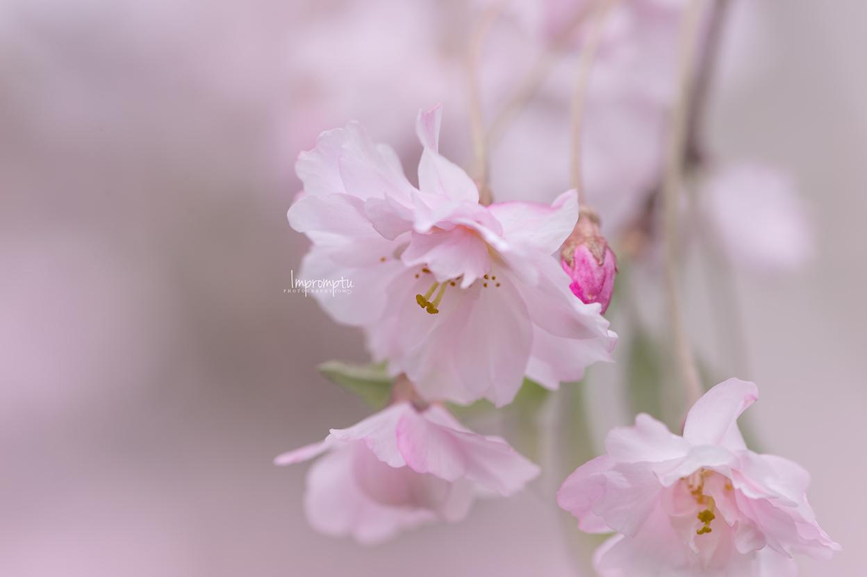 _249 05 06 2018  weeping cherry blossom.jpg