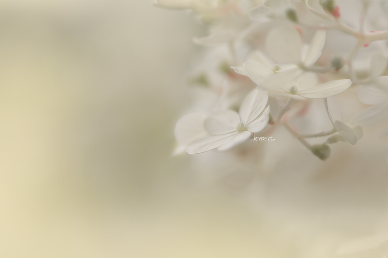 _13 07 30 2018 Cluster of cream Panicle Hydrangea.jpg