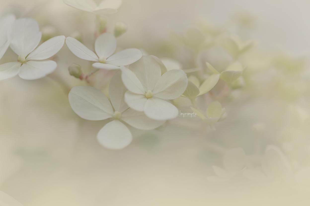 _53 07 31 2018 Small Cluster Cream Panicle Hydrangea blooms.jpg