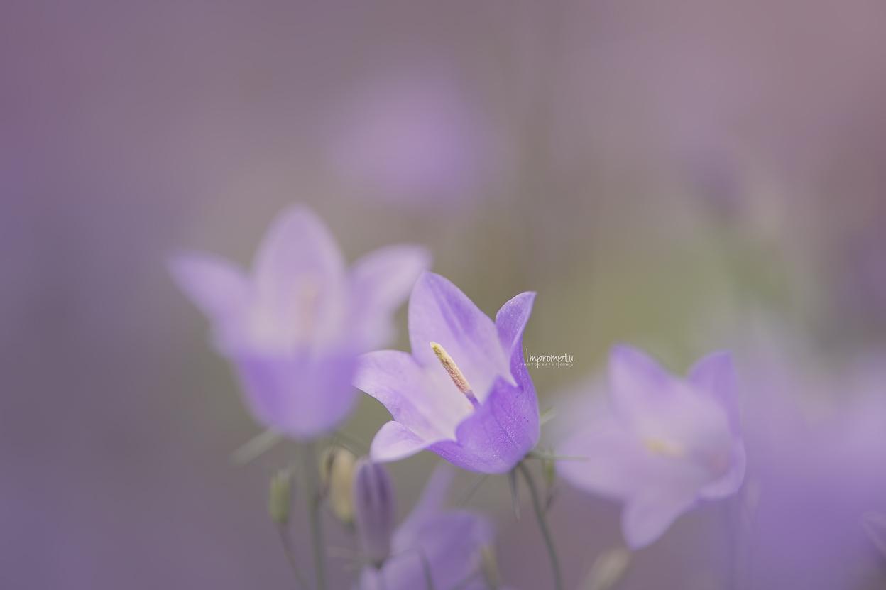 _59 06 28 2018  Harebell Bluebell flower.jpg