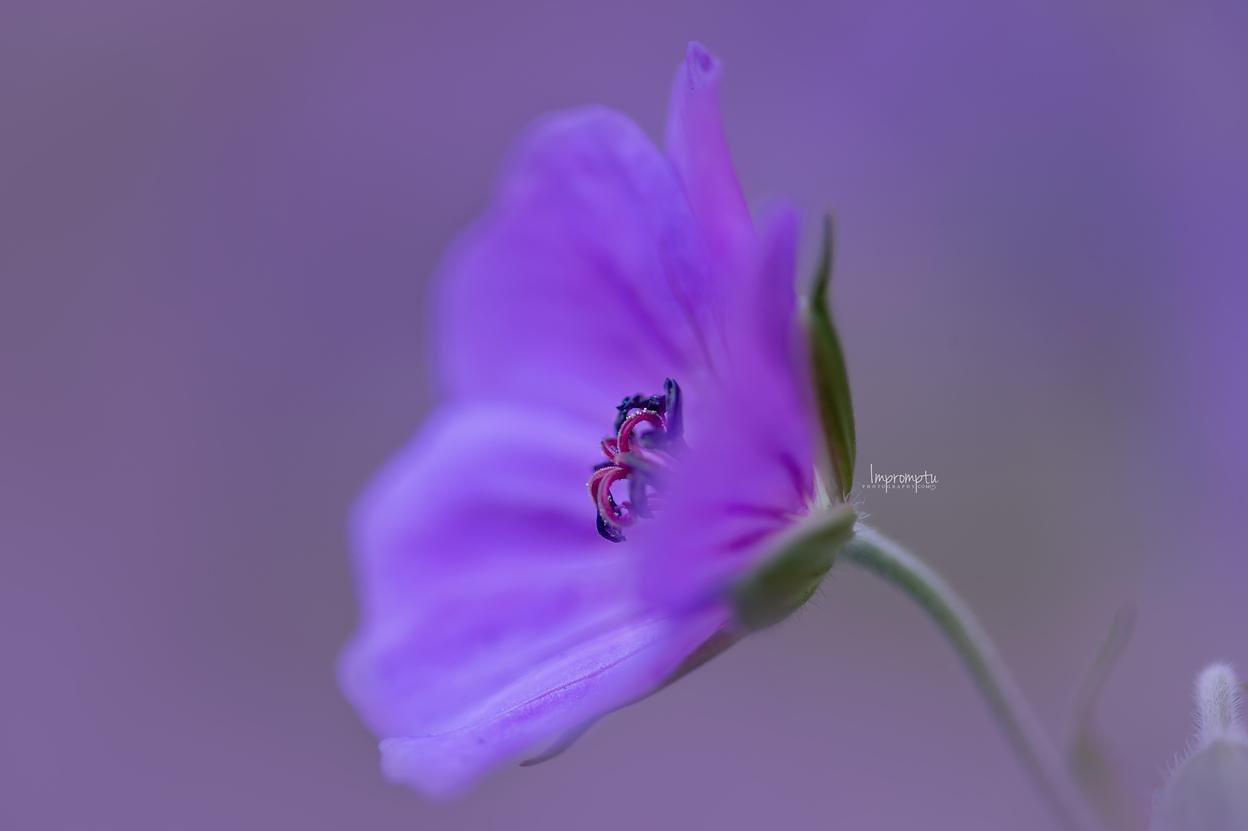 _63 07 02 2018 Geranium Rozanne purple.jpg
