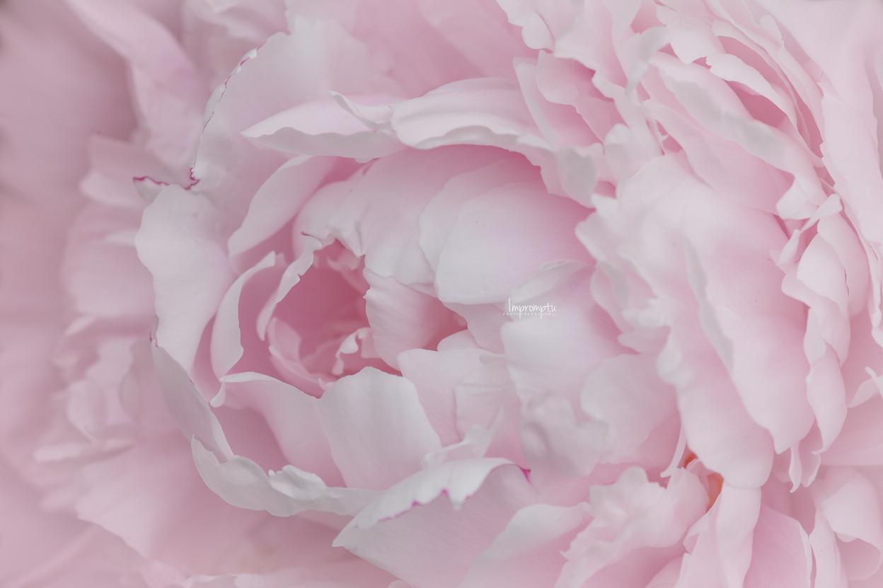 _63 06 05 2018 2 Petal waves of a Pink Sorbet Peony.jpg