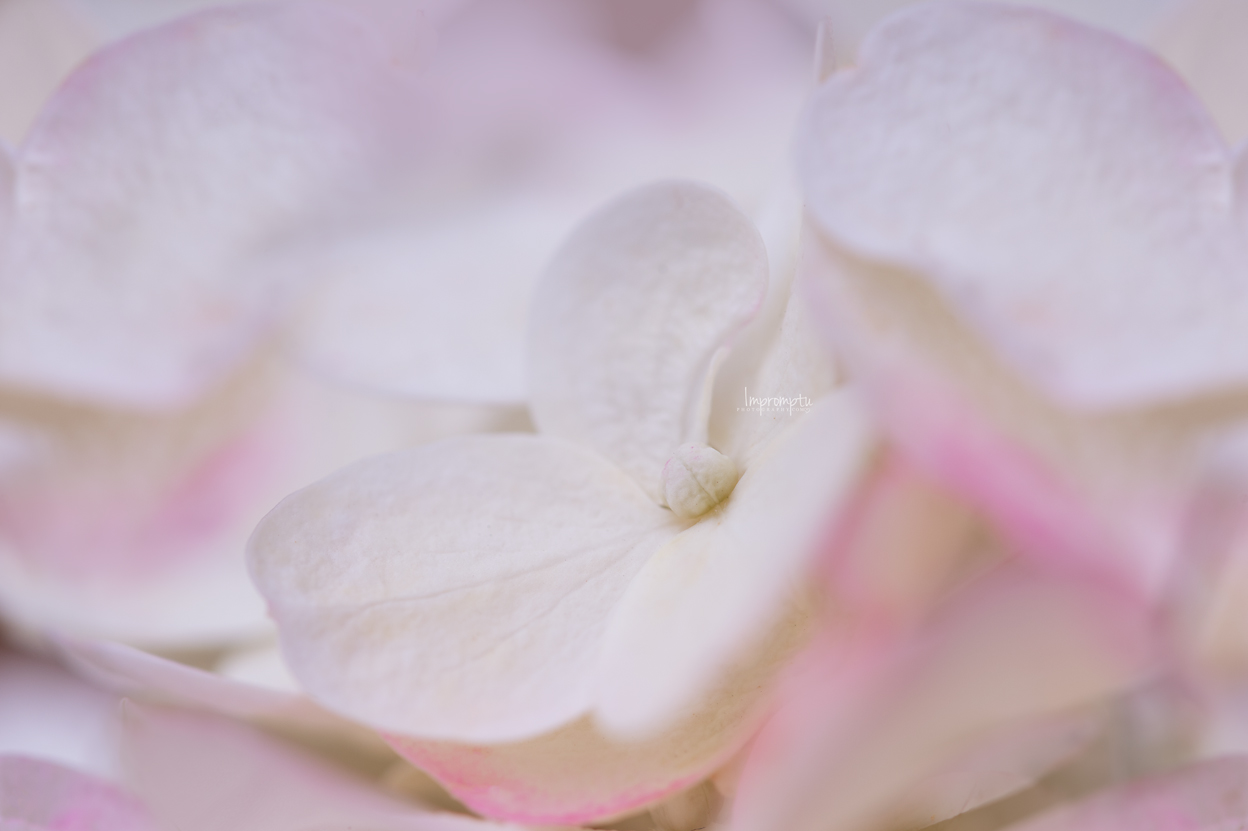 _71 2 07 21 2018 Stawberries and Cream Hydrangea Bloom.jpg