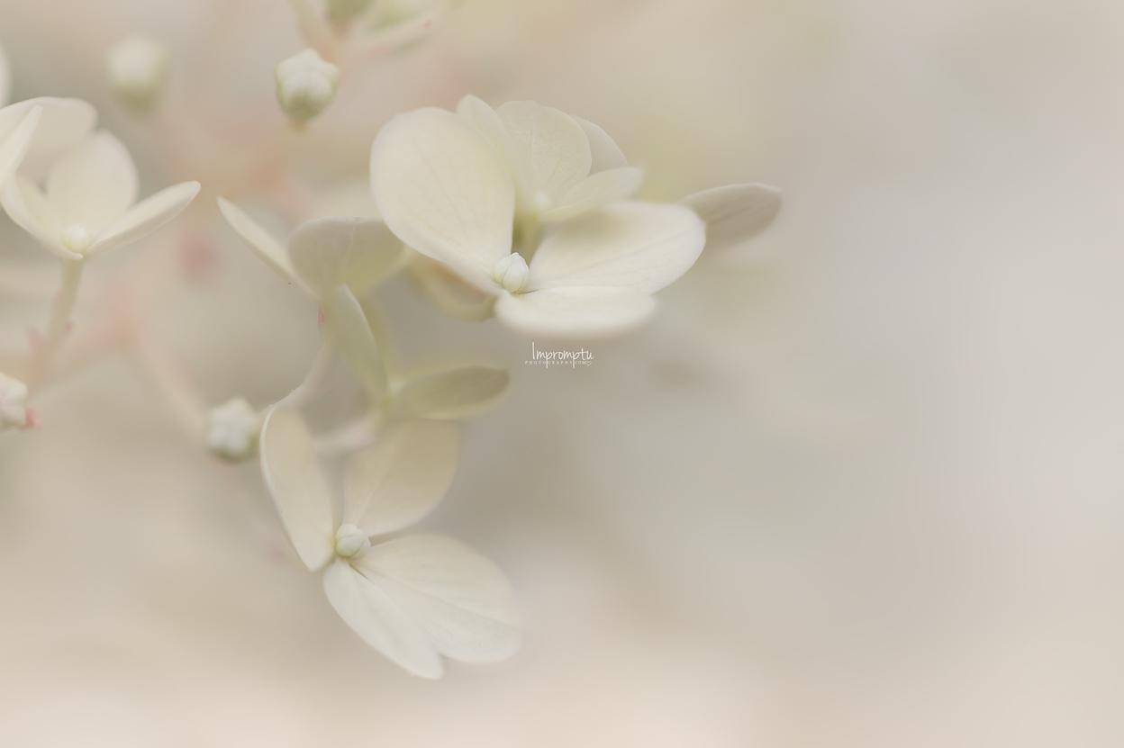 _87 2 07 30 2018 Single Cream bloom Panicle Hydrangea.jpg