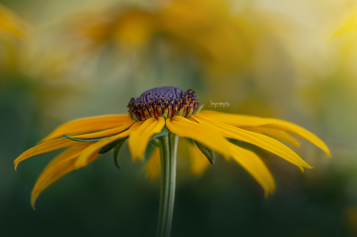 _104 07 18 2018  Brown eyed Black eyed Susan.jpg