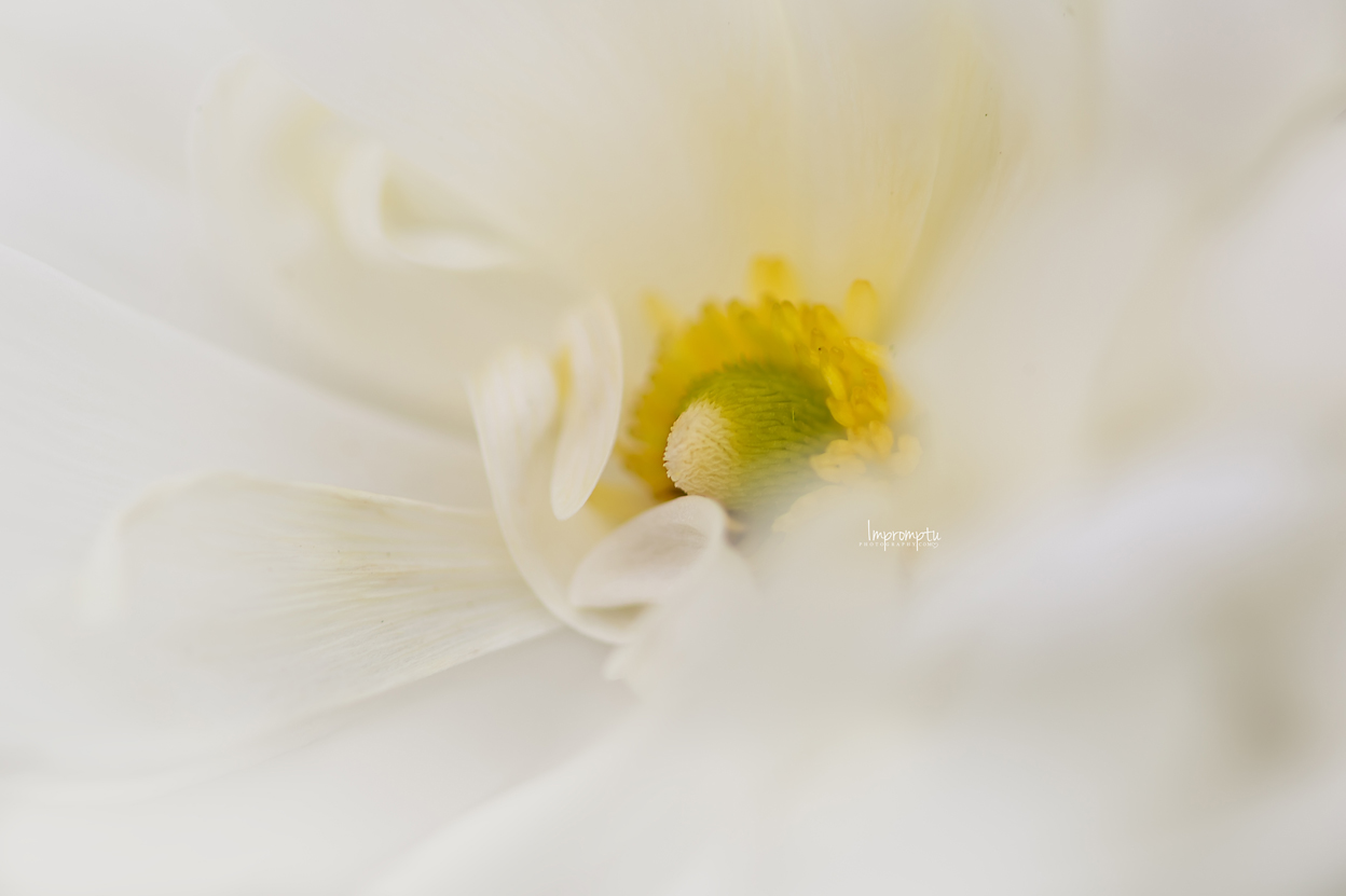 _117 07 02 2018   Miniature White Ranunculus up close.jpg
