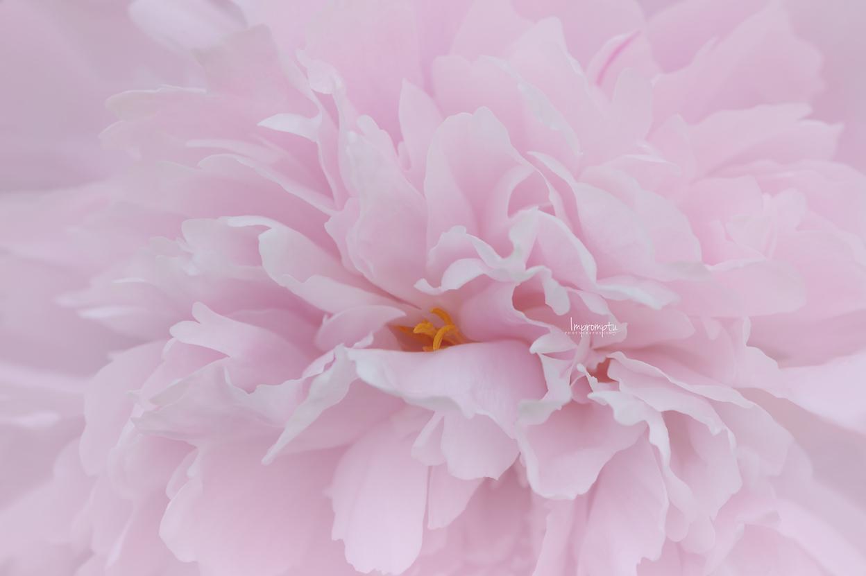 _110 2 06 07 2018 Wave of petals of a pink sorbet peony.jpg