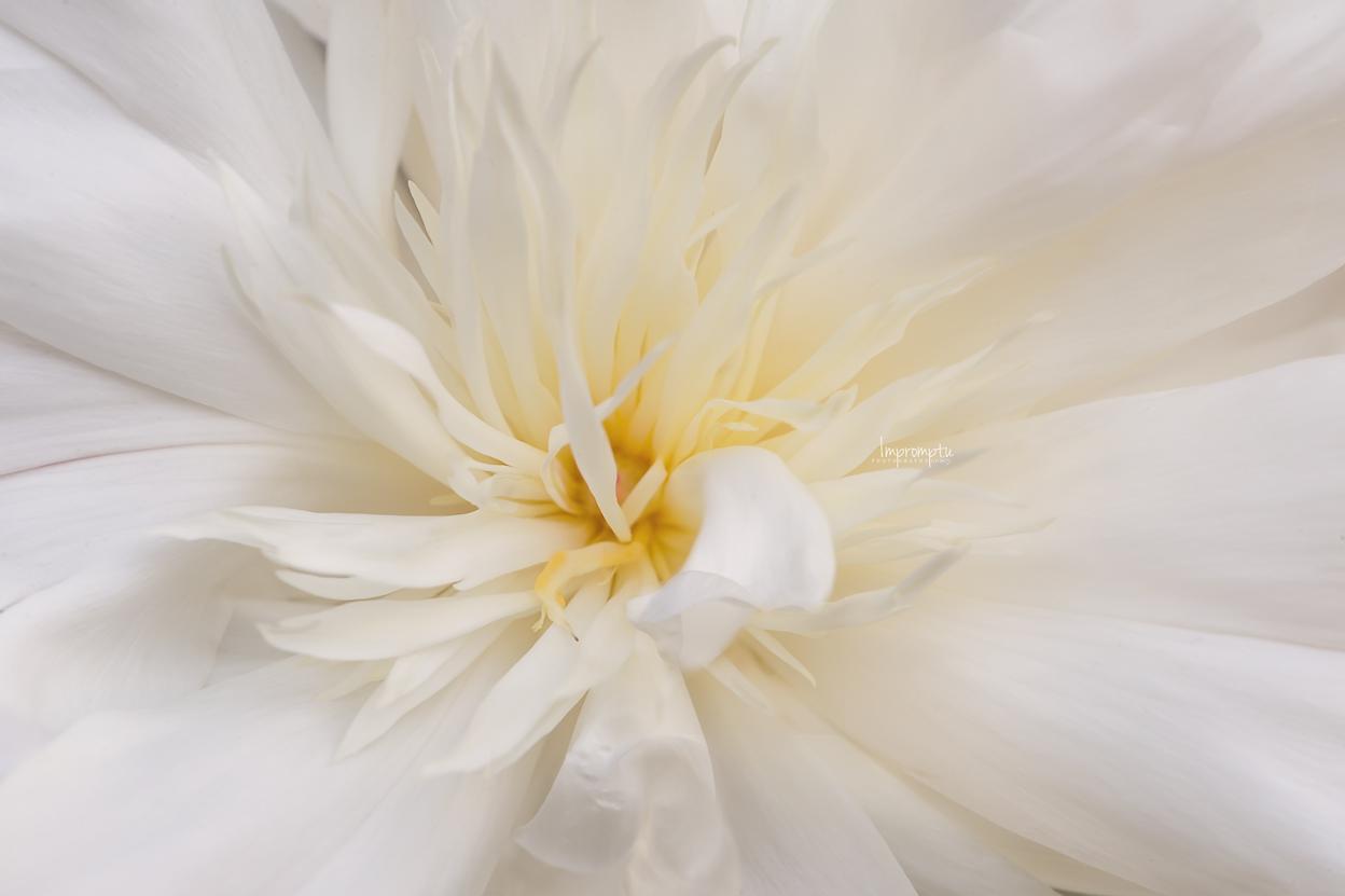 _125 06 07 2018 Duchess of Nemours White Peony.jpg