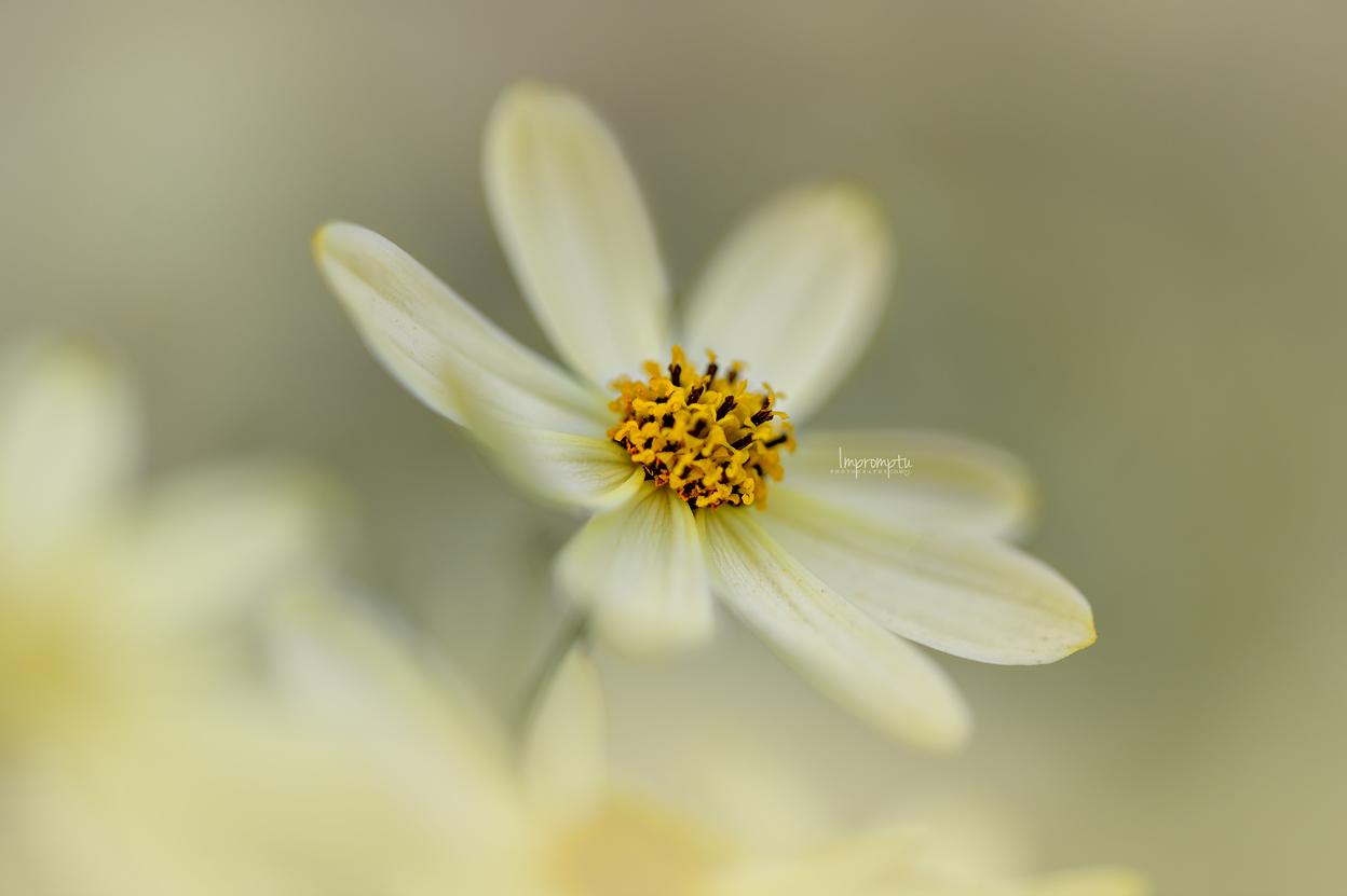 _149 07 09 2018 Coreopsis yellow tickseed.jpg