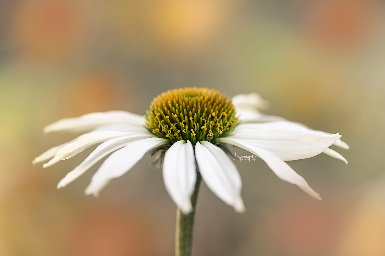 _174 07 14 2018  White Cone Flower.jpg