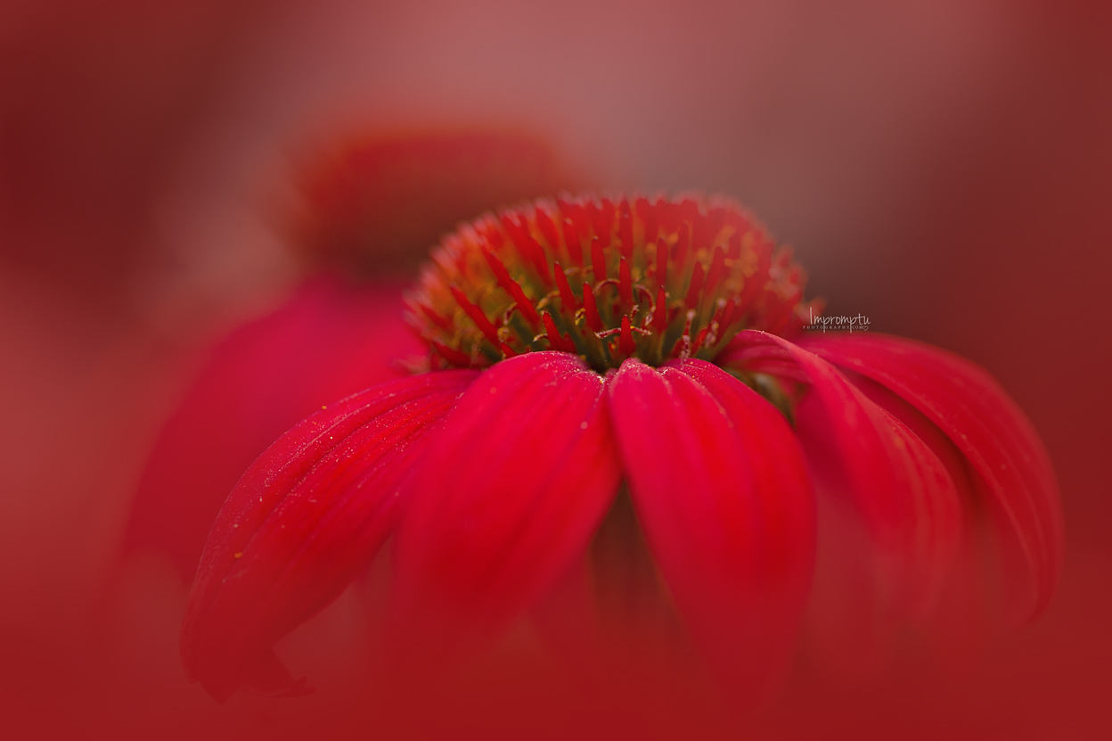_226 07 14 2018  Red Cone Flower.jpg