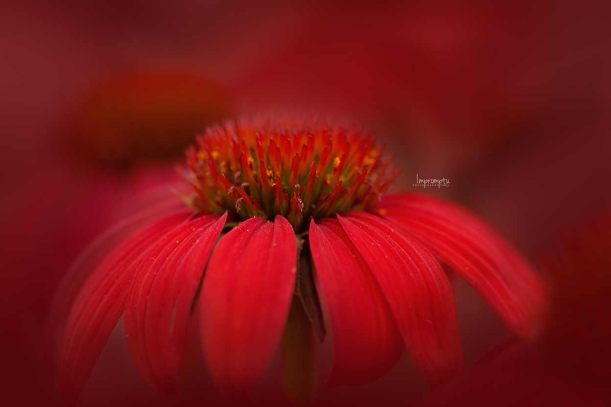 _375 07 09 2018  Red Cone Flower in the evening light.jpg