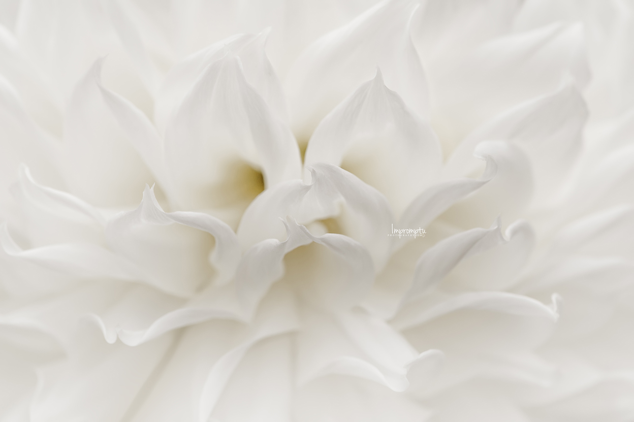 _25 09 08 2018  White Dahlia waves.jpg