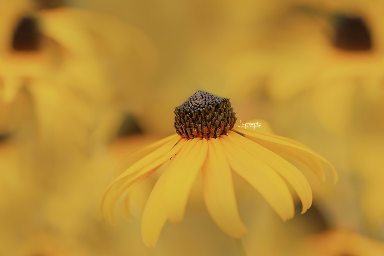 _67 09 01 2018 Blackeyed Susan blooms in detail.jpg