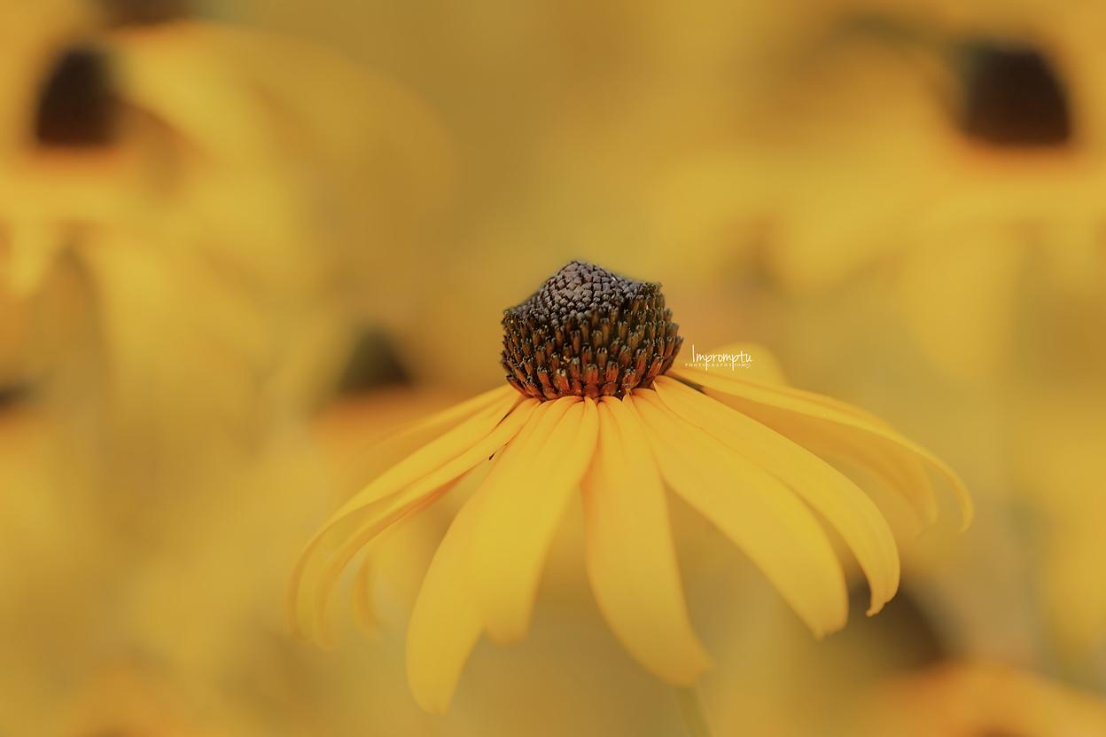 _67 09 01 2018 Blackeyed Susan blooms in detail.jpg