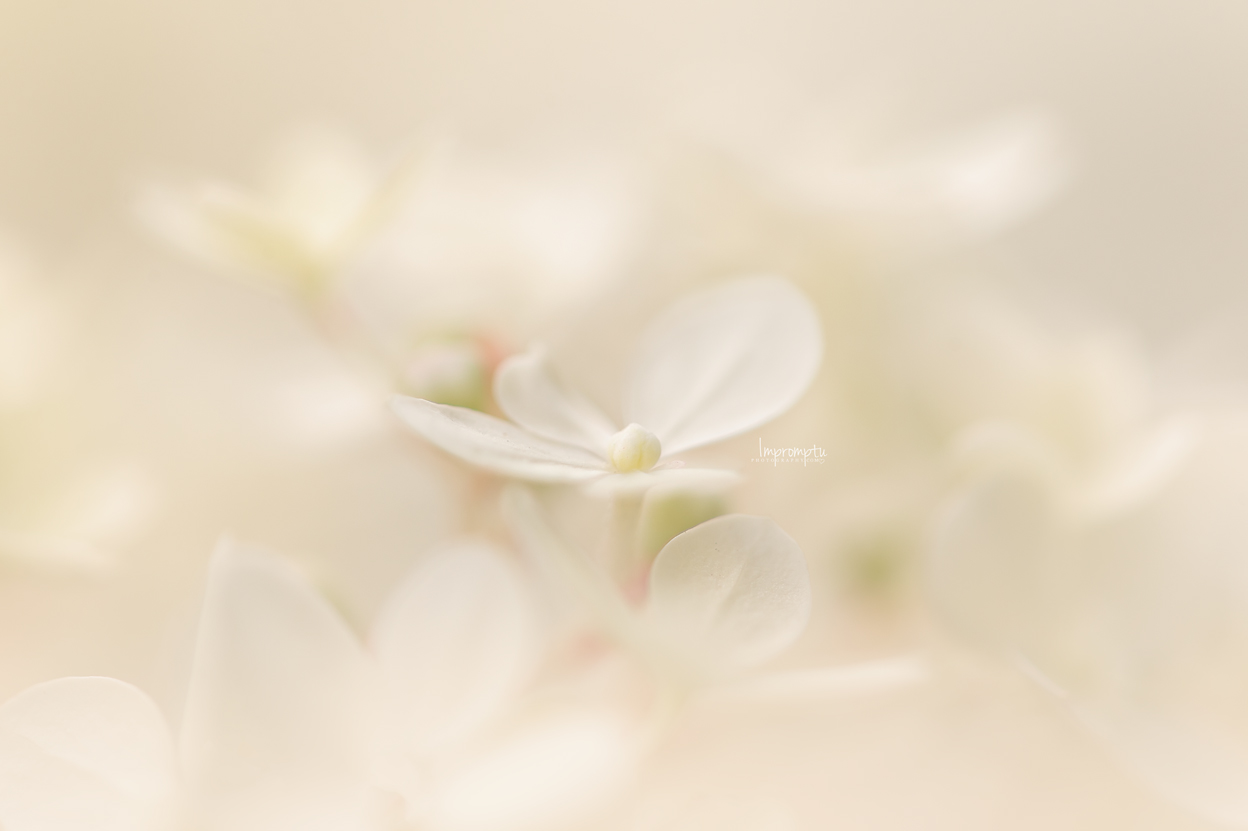_75 07 30 2018 Single White bloom Panicle hydrangea.jpg