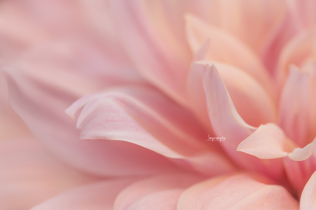 _95 09 01 2018 Waves of a pink dahlia.jpg