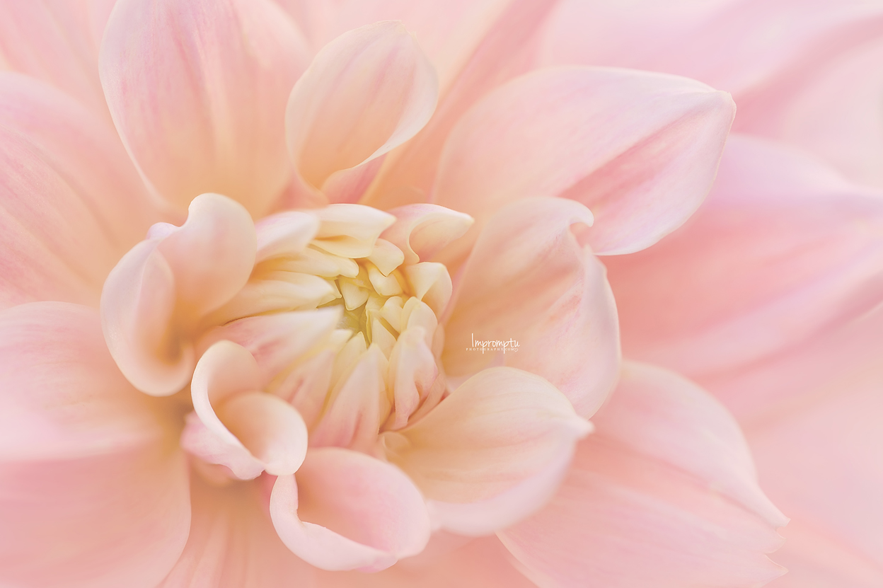 _97 3 09 12 2018  Pink Dahlia side view.jpg