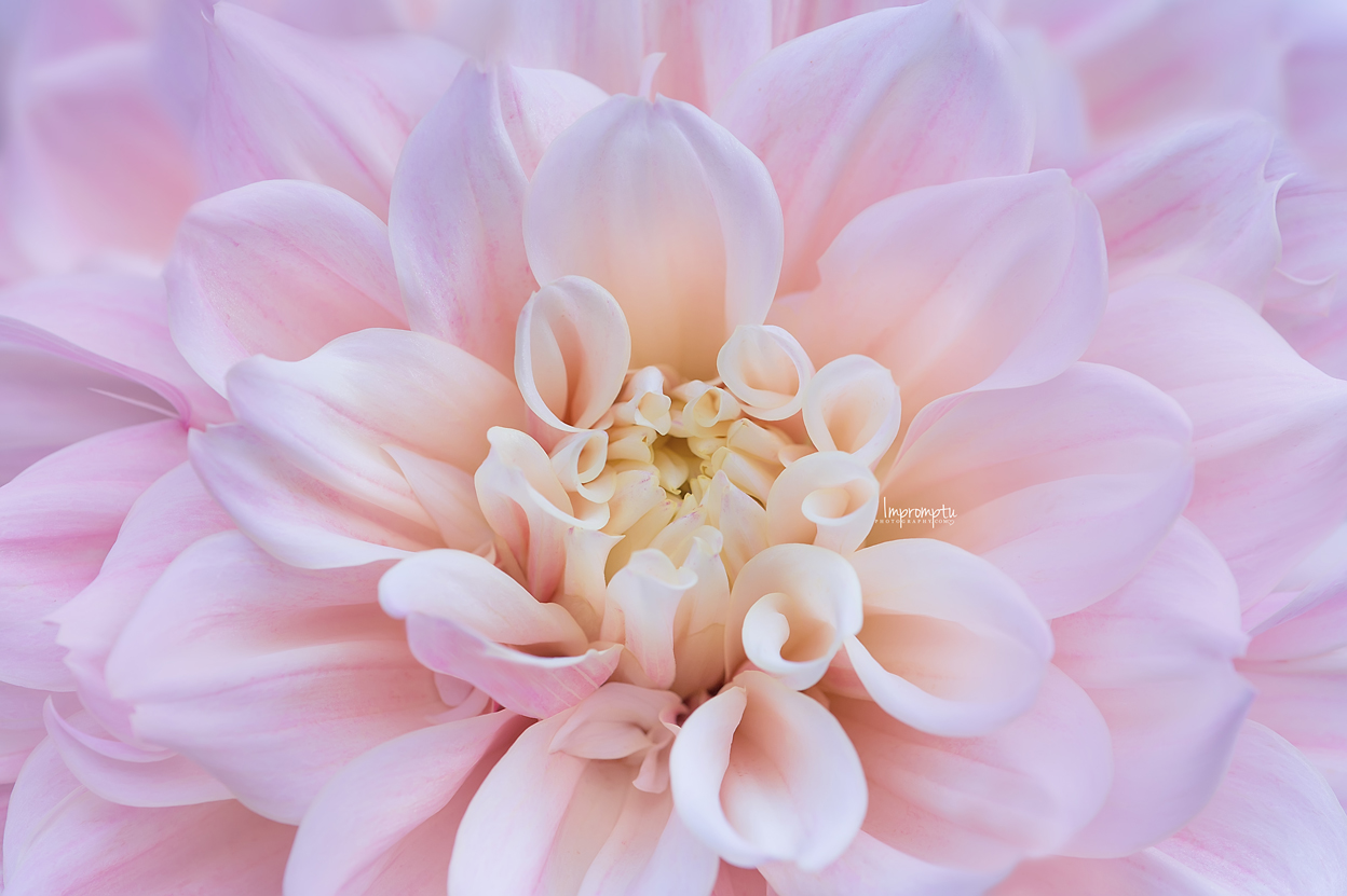 _97 2 08 15 2018  Pink Dahlia front view.jpg