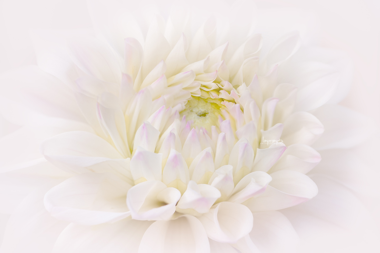 _125 2 08 15 2018  Details of a white and purple Dahlia.jpg
