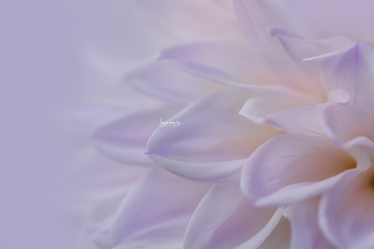 _153 3 09 01 2018 Waves of a white and purple Dahlia.jpg