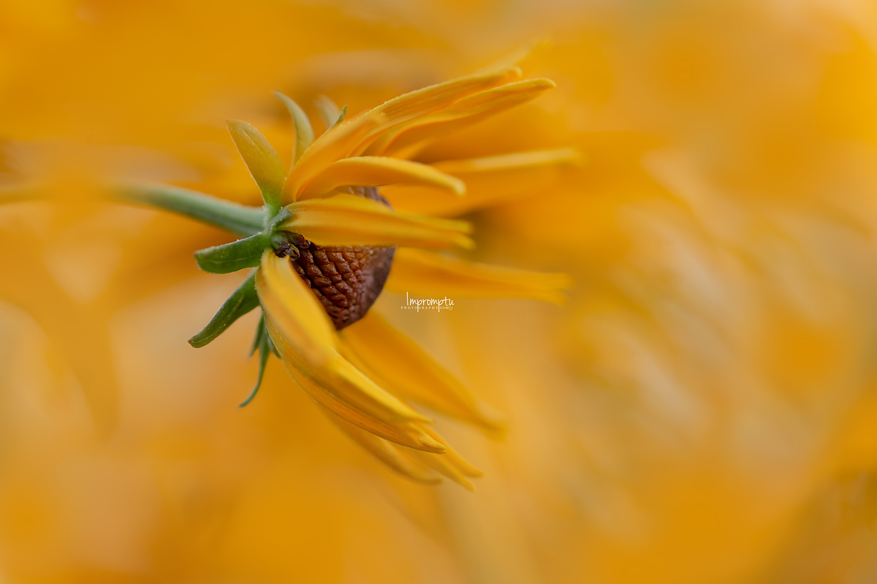 _155 2 08 12 2018 Blackeyed Susan starting to bloom.jpg