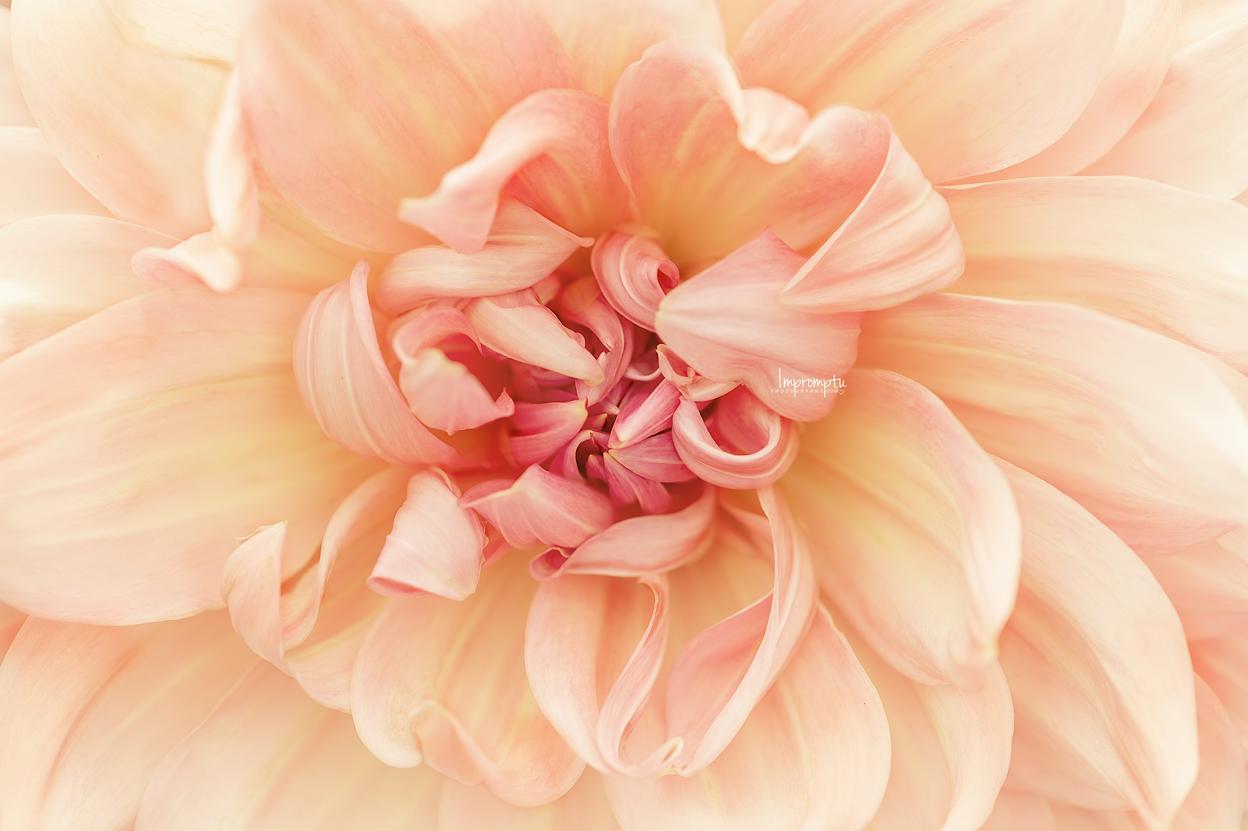 _195 2 09 12 2018  Yellow peach Dahlia details in bloom.jpg