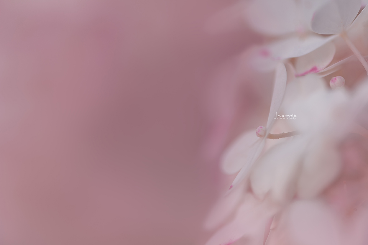 _215 09 01 2018 Details of a single Panicle Hydrange bloom.jpg