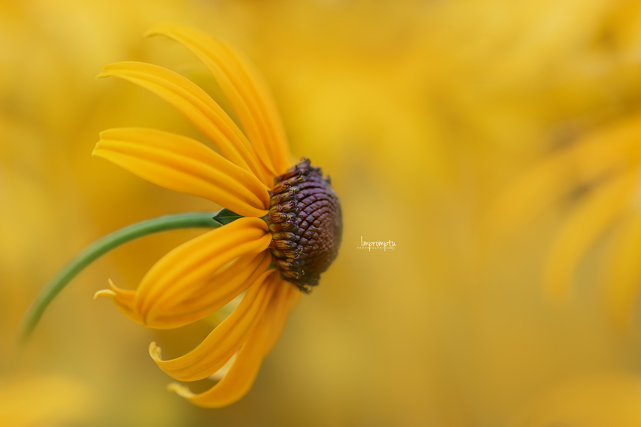 _218  2 08 15 2018 Blackeyed Susan Dancing in the morning light detailed.jpg