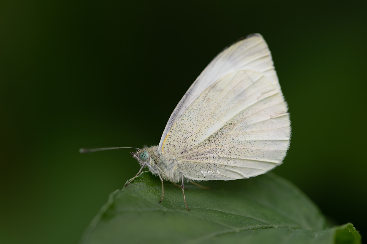 _291 09 08 2018  Details of a White Cabbage Butterfly upon a leaf.jpg