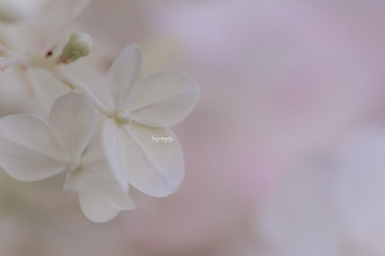 _355 08 10 2018  Single White Panicle Hydrangea bloom.jpg