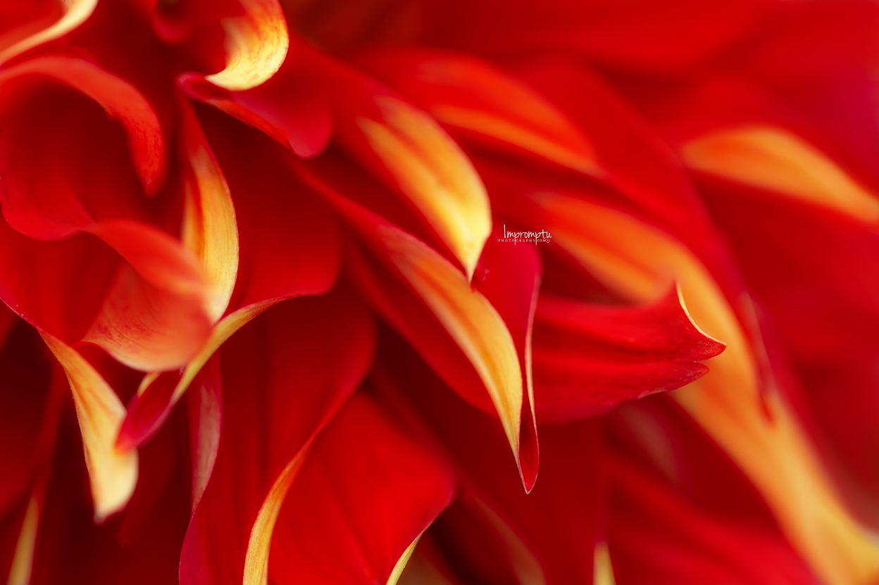 _364 2 08 25 2018  Waves of Petals of a Red Dahlia.jpg