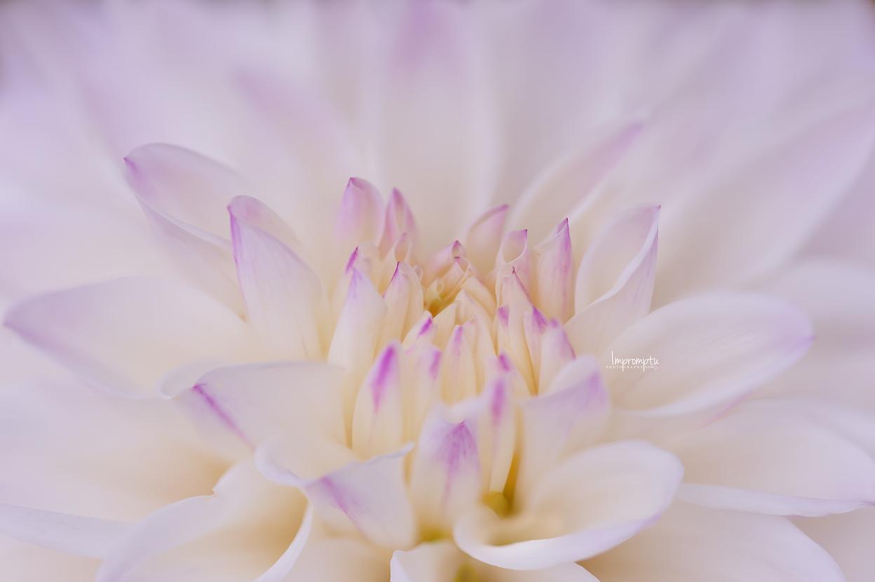 _389 2 08 25 2018 White and purple Dahlia.jpg