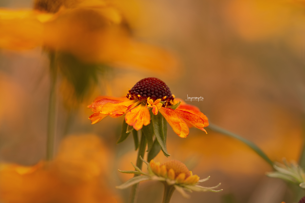 _395 09 01 2018 Helenium Blooms detailed.jpg