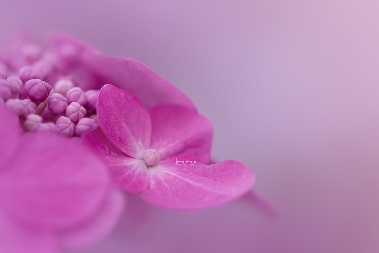 _496  2 08 25 2018  Details of a single pink lacetop Hydrangea bloom.jpg