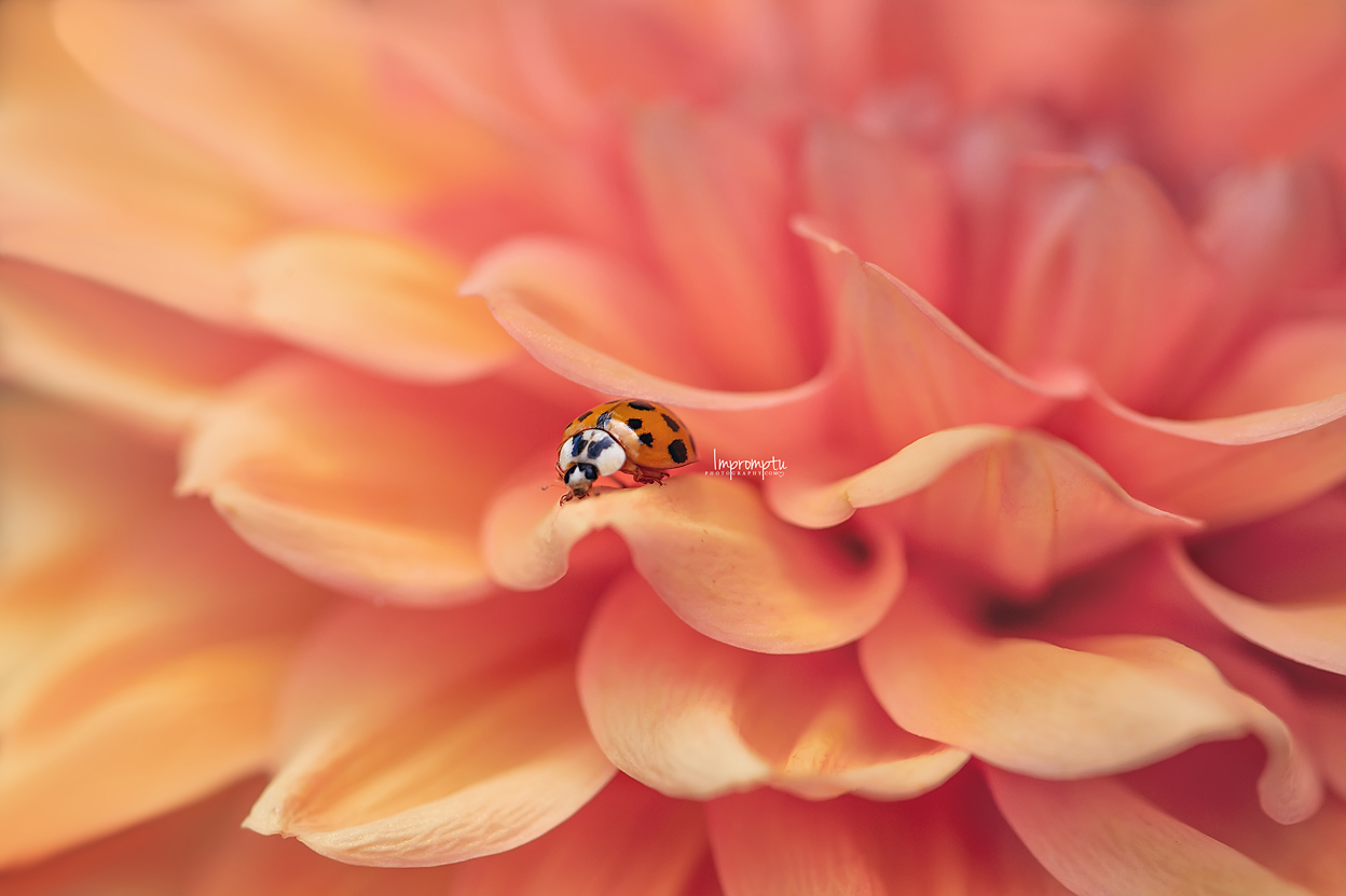 _505 09 01 2018  Ladybug Ladybird sitting on a orange Dahlia details.jpg